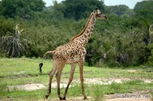 Giraffe07